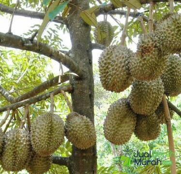 Jual Bibit Durian Bawor Kaki 3 Terbaik | Durian Musang King