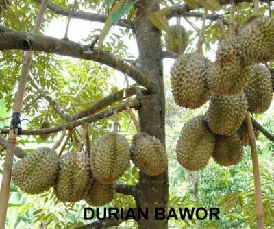 Durian bawor