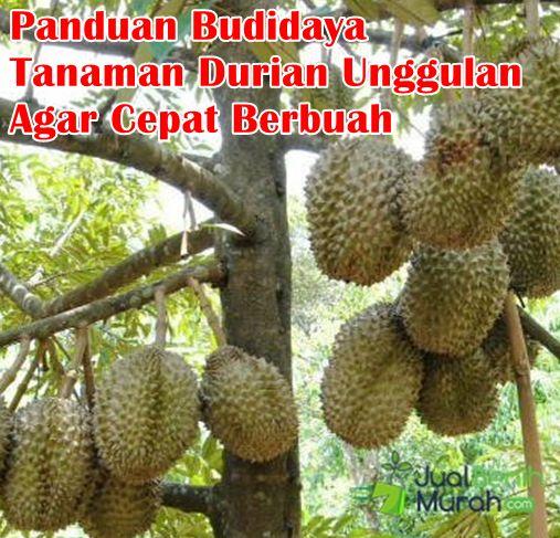 Panduan Budidaya Tanaman Durian