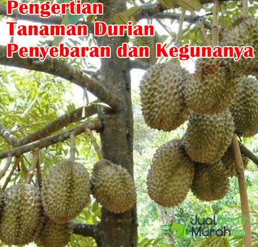 Pengertian Tanaman Durian
